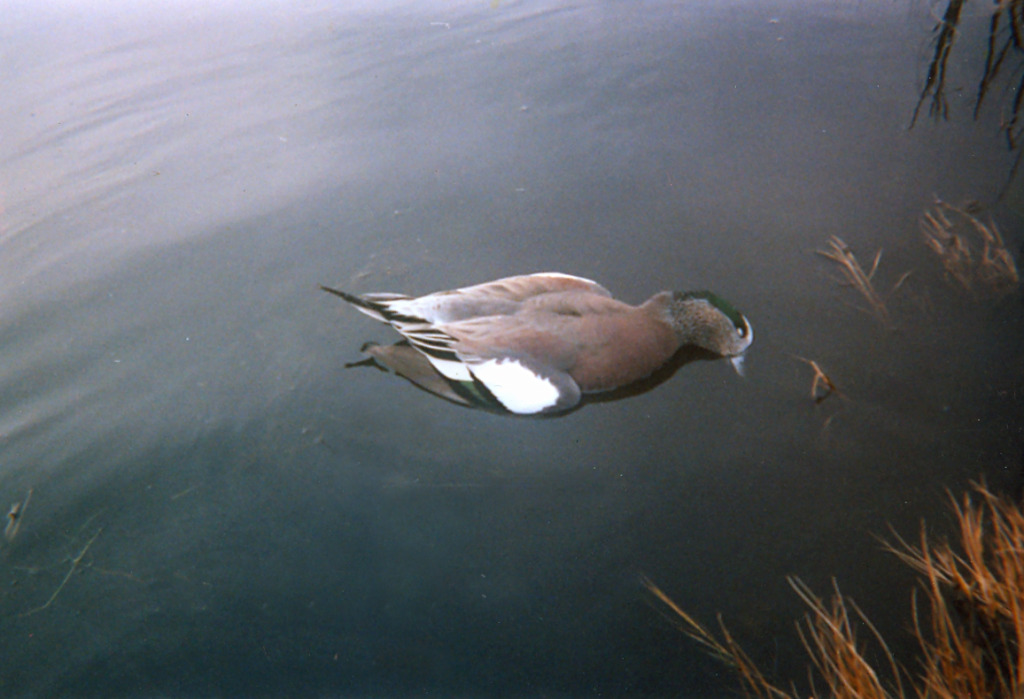 Widgeon_new