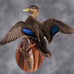 blackduck_002-2