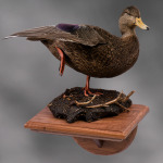 blackduck_009-2