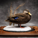 blackduck_012-2