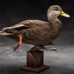 blackduck_013