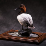 canvasback_002