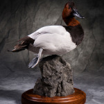 canvasback_003