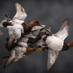 canvasback_005