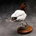 canvasback_007
