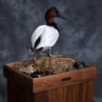 canvasback_008