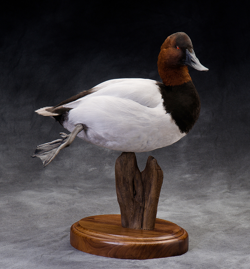 canvasback_010