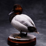 canvasback_011