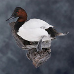canvasback_012