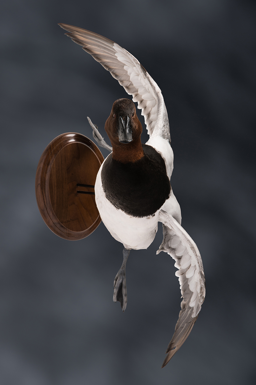 canvasback_013