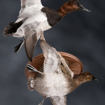 canvasback_014