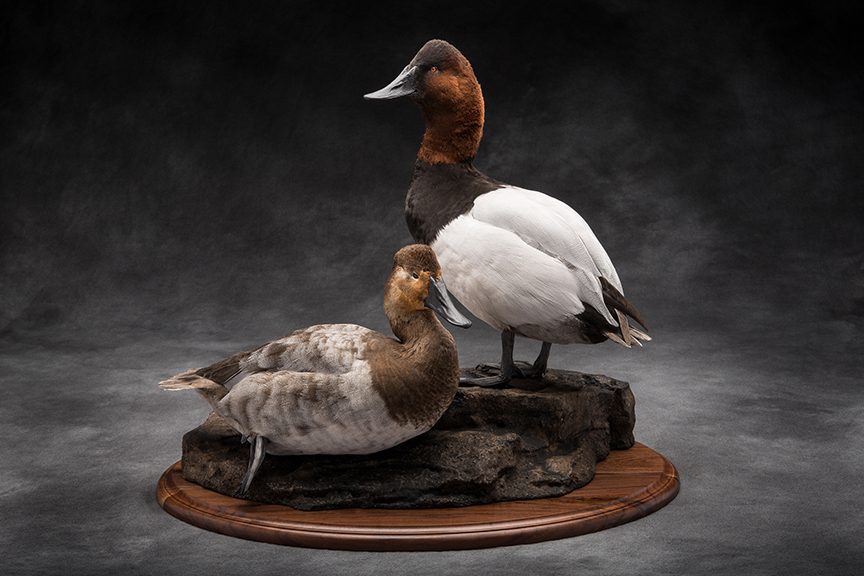 canvasback_015