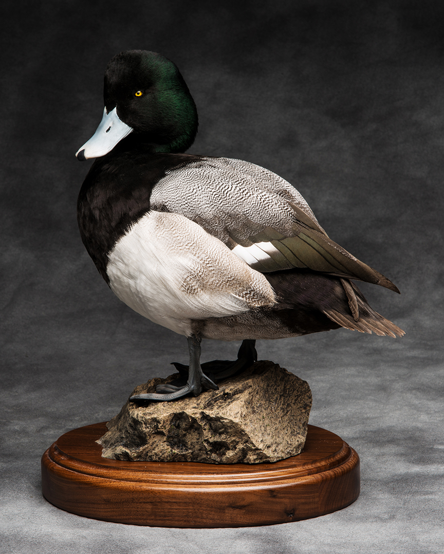 scaup_001