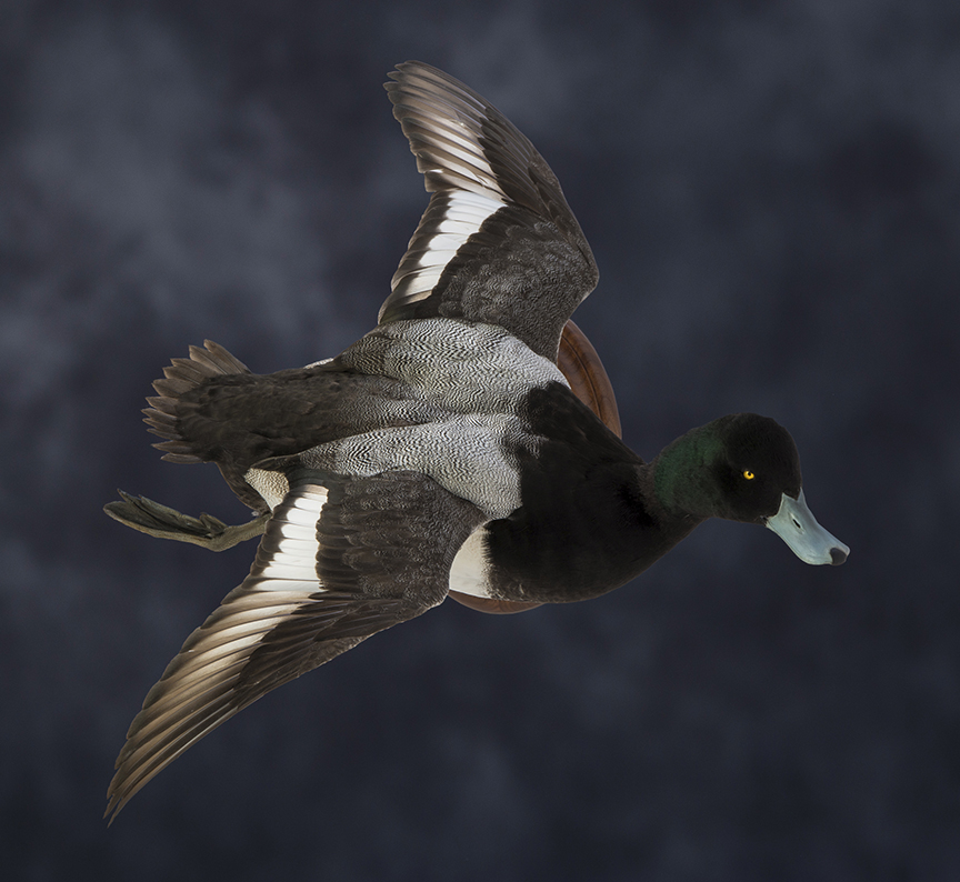 scaup_002