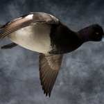 scaup_004