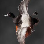 scaup_005