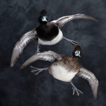 scaup_006