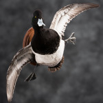 scaup_007