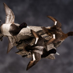scaup_010