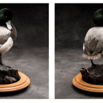 scaup_011