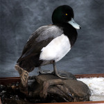 scaup_012