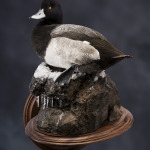 scaup_014