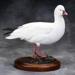 Brant-Geese-Swans