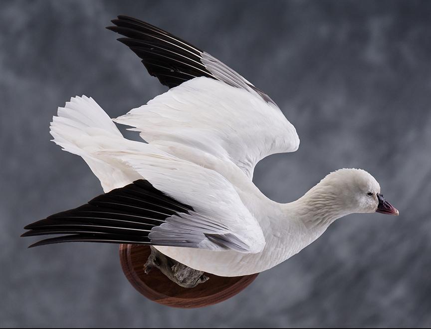 whitegoose_007
