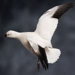 whitegoose_009-2