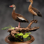 Tree Ducks